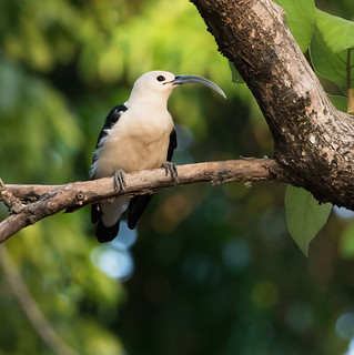 Sickle-billed Vanga (Falculea palliata)_DSC7423-editCC | by Dave Krueper