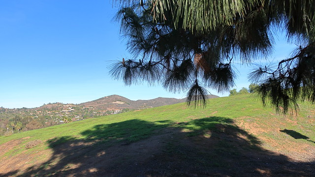 180129 087 Alta Vista Botanical Gardens - Brengle Park, Pinus canariensis Canary Islands Pine