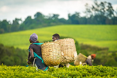 Tea Value Chain