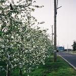 An apple farm in Fujisaki Town