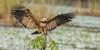 Black-collared Hawk by tickspics 