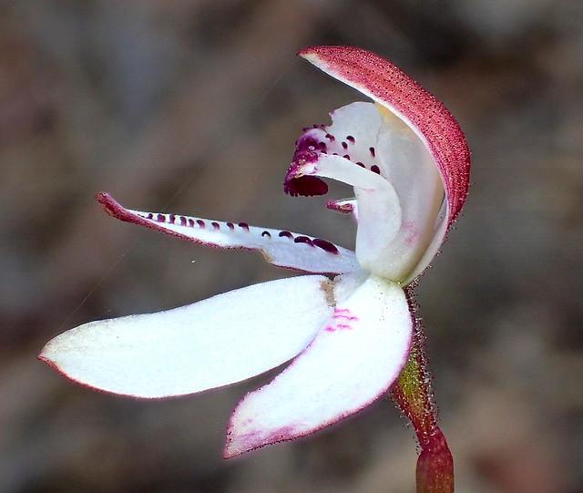 Dark Caladenia ORCHID