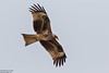 Black Kite, Milvus migrans by Kevin B Agar