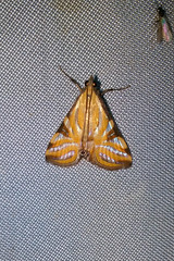 Crambidae: Talanga tolumnialis (Figleaf Moth)