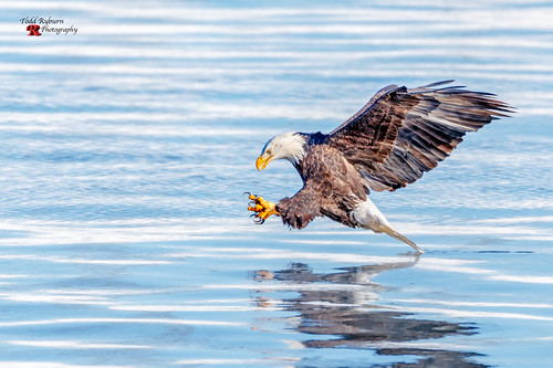 bettendorf iowa unitedstates us river mississippiriver baldeagle talons ref profileview raptor fishing canon canon1dx canon800mmf56l