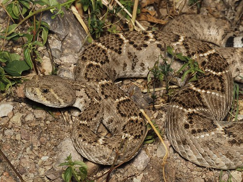 Western Diamond-backed Rattlesnake (Crotalus atrox) | by NicholasHess