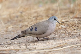 Black-billed Wood Dove  Turtur abyssinicus | by ipaddave