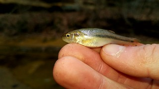 Creek Chub | by Isaac's Fishing Corner