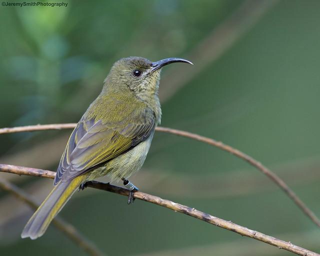 Olive Sunbird, Cyanomitra olivacea, Seldom Seen, Bvumba, Mutare, Zimbabwe