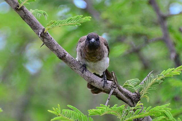 Бородатый настоящий бюльбюль, Pycnonotus barbatus layardi, Common Bulbul