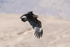 Greater Spotted Eagle at Khawr Rawri S24A6423 by grebberg