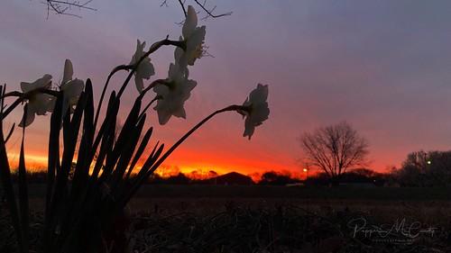 sky daffodils spring sunrise texas
