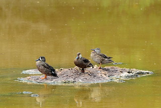 Голубокрылый чирок, Anas discors, Blue-winged Teal | by Oleg Nomad