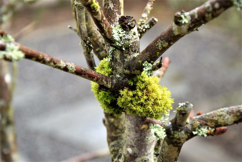 Horse Chestnut with moss 10.03 (1)