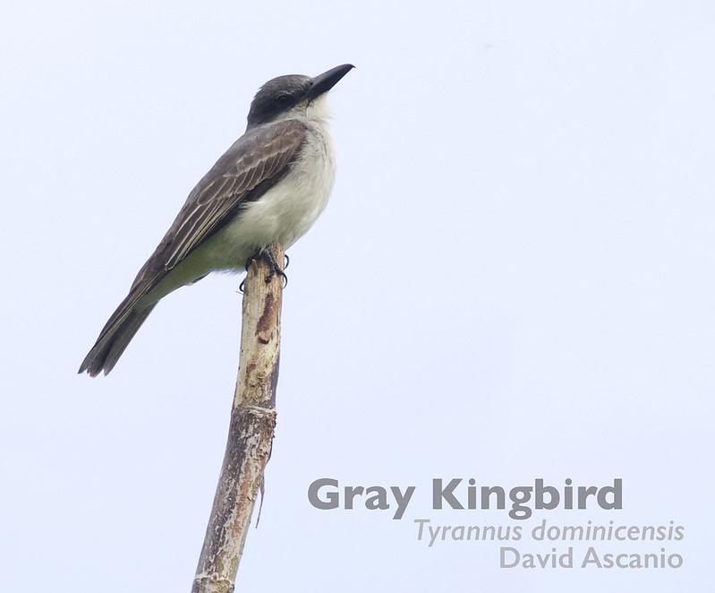 Gray Kingbird, Tyrannus dominicensis_Dominica_199A9541
