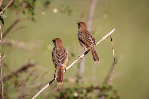 Are these some type of Cisticola?