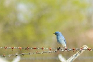 Mountain Bluebird | by midgetinvasion