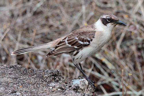 Галапагосский певчий пересмешник, Mimus parvulus parvulus, Galapagos Mockingbird | by Oleg Nomad