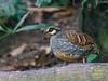 Taiwan Partridge (Arborophila crudigularis) by David Cook Wildlife Photography