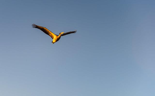 Early Morning Light on Pelican in Flight