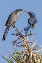 Western Scrub-Jays sharing food.