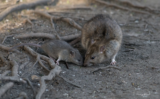 Brown Rats -Rattus norvegicus.