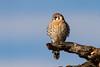 American Kestrel  (Falco sparverius) by Brown Acres Mark