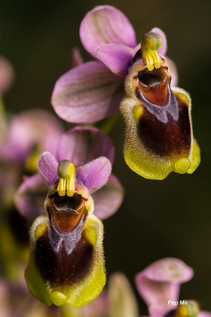 Mosque vermelle (Ophrys Thenthredinifera)-3079-2 f