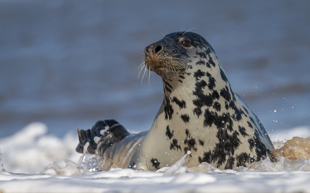 Grey Seal in the surf.