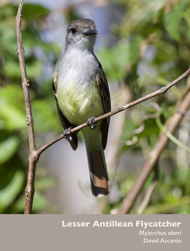 Lesser Antillean Flycatcher, Myiarchus oberi_Dominica_199A0115