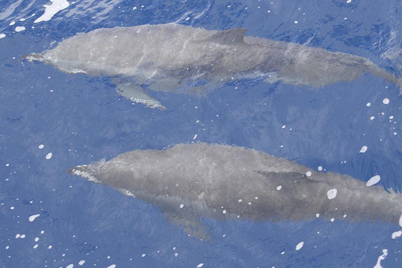Clymene Dolphin, Stenella clymene_199A9235