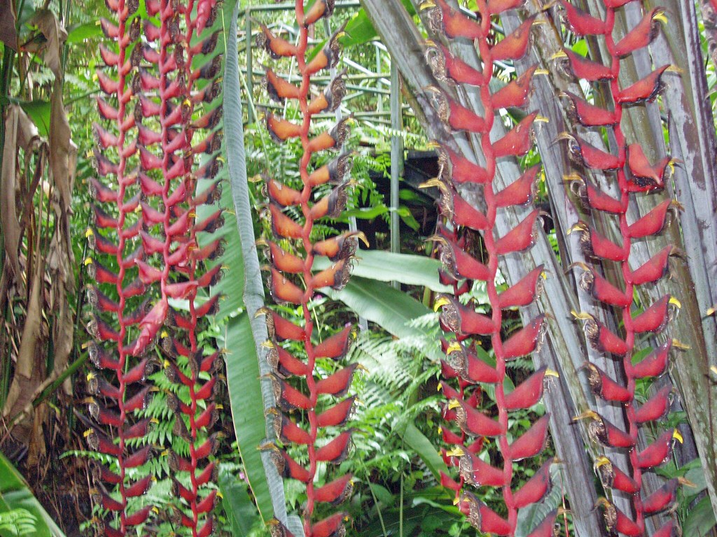 A Long String Of Lobster Claws In The Hawaiian Botanical G Flickr