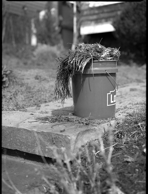 onion grass, pulled, bucket, sidewalk, North Asheville, NC, Mamiya 645 Pro, mamiya sekor 80mm F-2.8, 3.20.18