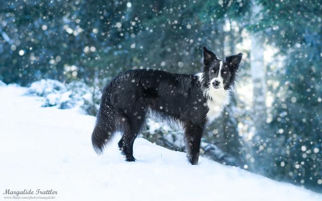 Balto in snow