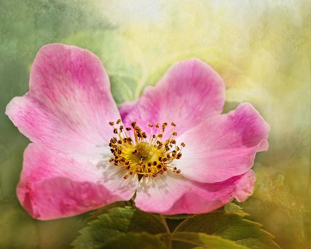 Summer rose.