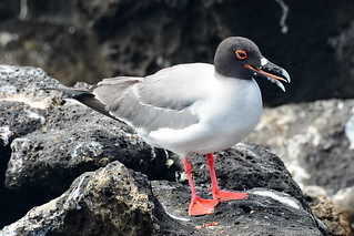 Галапагосская чайка, Creagrus furcatus, Swallow-tailed Gull | by Oleg Nomad