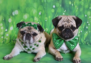 The Puglets Are St. Patrick's Day Ready! | by DaPuglet
