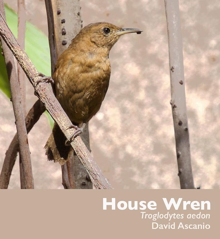 House Wren, Troglodytes aedon_Dominica_199A0074