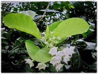 Beautiful white flowers of Vallaris glabra | by jayjayc