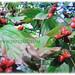 Red berries of Cornus florida