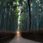 Bamboo Grove at dawn