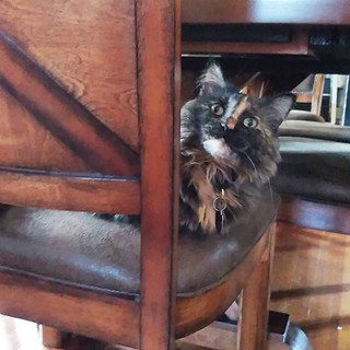 I told her yesterday new dining room chairs are off limits. But, cats 😾 #mindofherown #notascratchingpost #catsofinstagram #tortitude #thisiswhywecanthavenicethings #sneakycatsofinstagram #tortie #tortoiseshellcat