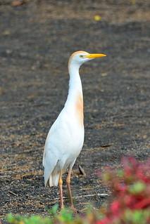 Египетская цапля, Bubulcus ibis, Cattle Egret | by Oleg Nomad