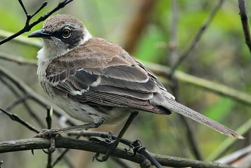 Галапагосский певчий пересмешник, Mimus parvulus parvulus, Galapagos Mockingbird   by Oleg Nomad