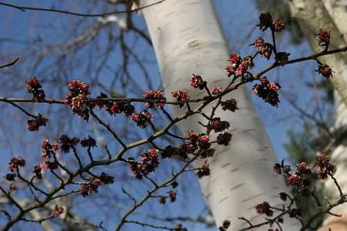 Parrotia persica blossoms | by Marta_9