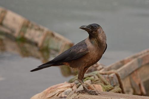 Блестящий ворон, Corvus splendens splendens, House Crow | by Oleg Nomad