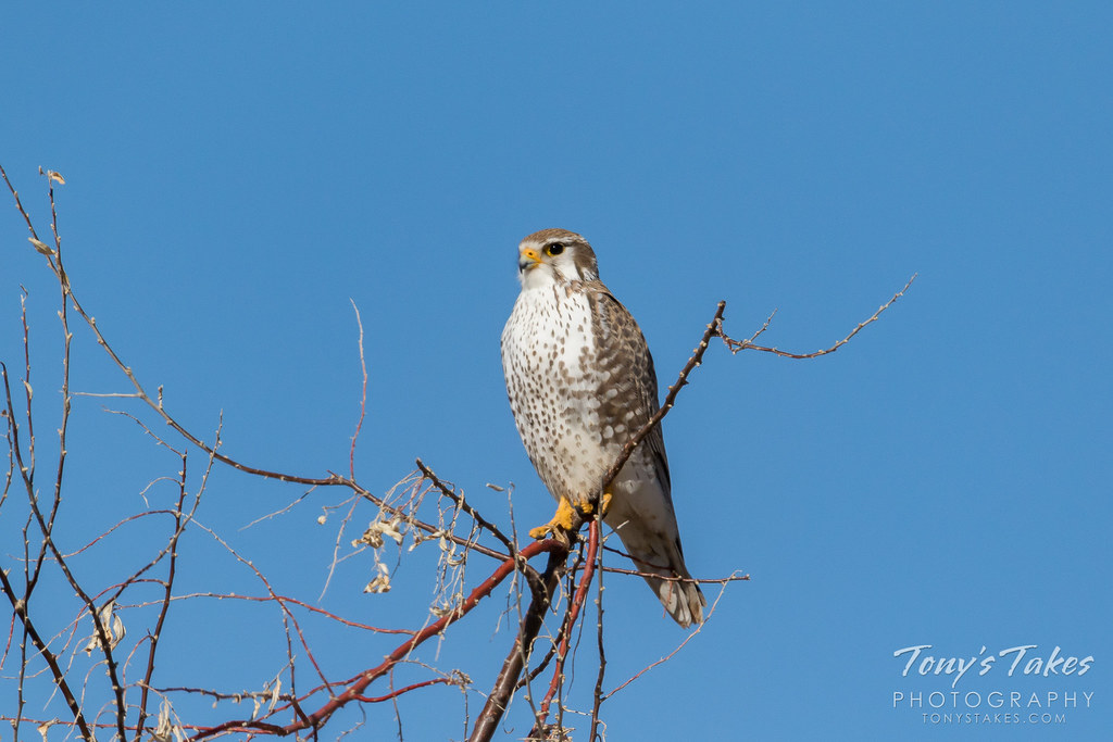A Prairie Falcon keeps watch in Morgan County, Colorado. (© Tony's Takes)