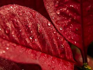 Poinsettia macro   by cizauskas