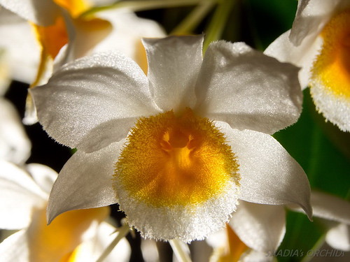 Dendrobium farmeri   by TwilightShadow