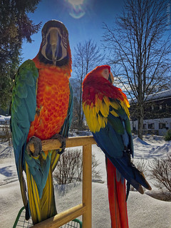 Macaws in the snow (My pets Lara and Lucy) | by Alzheimer1